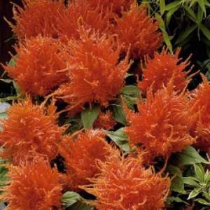 Fresh Look Orange Celosia