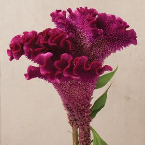 Bombay Purple Celosia
