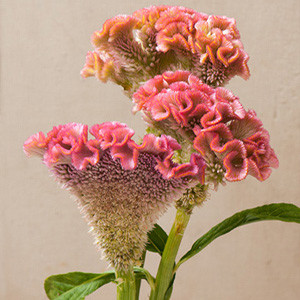 Bombay Pink Celosia