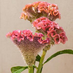 Bombay Pink Celosia