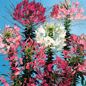 QUEEN MIX CLEOME