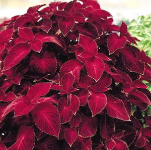 Wizard Velvet Red Coleus