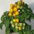 Container Patio Little Sun Yellow Cherry Tomato