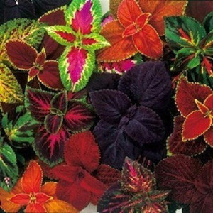 Rainbow Mix Improved Coleus