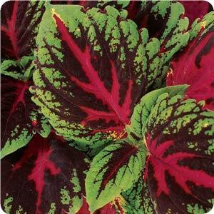 Kong Red Coleus