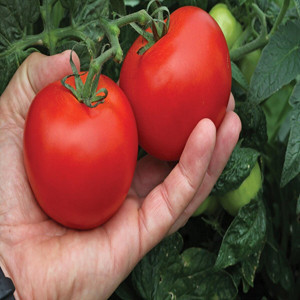 Container Patio Mega Bite  Tomato Seeds