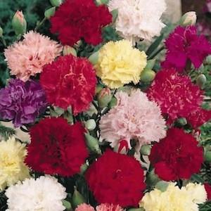 Chabaud Giant Mix Carnation
