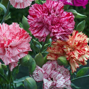 Chabaud Giant Picotee Fantasy Mix Carnation