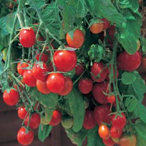 Container Patio Tumbling Tom Tomato