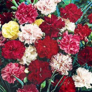 Grenadin Double Mix Carnation