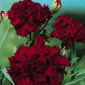 Grenadin Black King Carnation