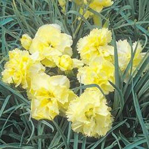 Grenadin Yellow Carnation