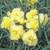 Grenadin Yellow Carnation