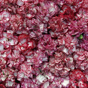 Raspberry Ripple Carnation