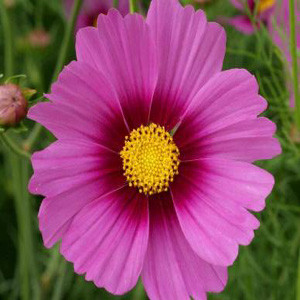 Cosmos Radiance Hot Pink