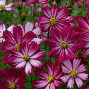 Cosmos Cosimo Purple-Red-White