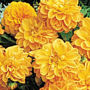 Dahlia Figaro Orange Shades