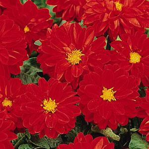 Dahlia Figaro Red Shades