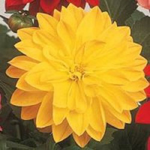 Dahlia Figaro Yellow Shades