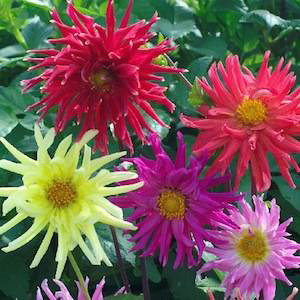 Dahlia Cactus Flowered Mix