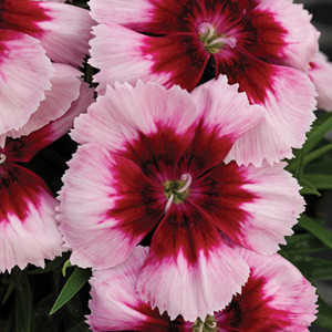 Dianthus Venti Parfait Crimson Eye