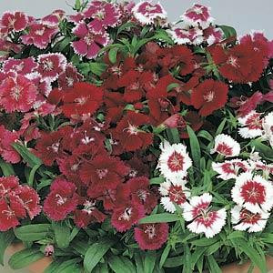 Dianthus Floral Lace Mix