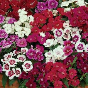 Dianthus Ideal Select Mix