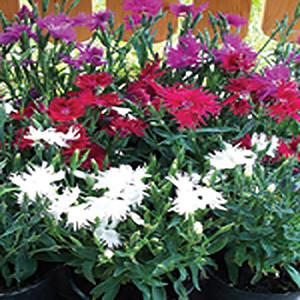 Dianthus Supra Mix