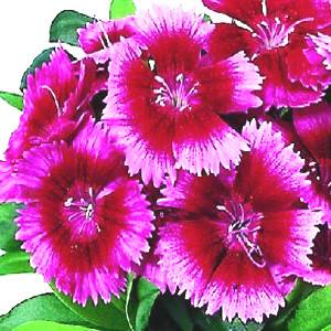 Dianthus Chiba Crimson Picotee