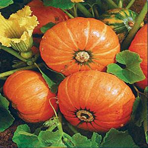 Container Patio Windsor Pumpkin