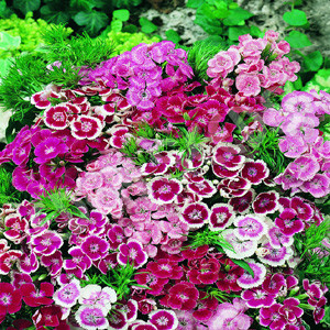 Dianthus Wee Willie Mix