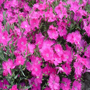 Dianthus Supra Purple