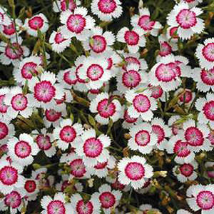 Dianthus Artic Fire-Maiden Pinks