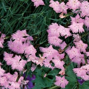 Dianthus Cheddar Pink- (Bath's Pink)