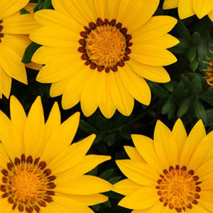 New Day Yellow Gazania