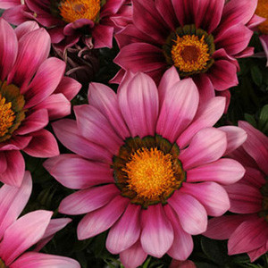 New Day Pink Shades Gazania