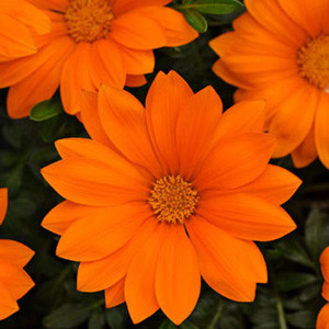 New Day Clear Orange Gazania