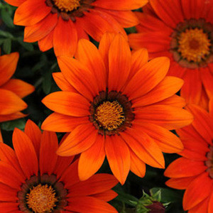 New Day Bronze Shades Gazania