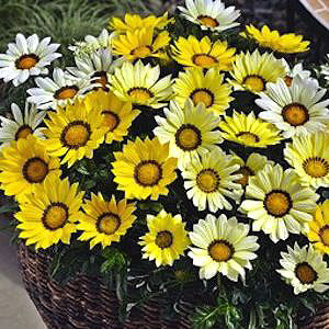 Kiss the Sun Mix Gazania