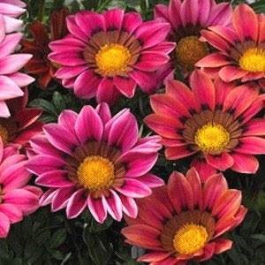 Kiss Rose Gazania