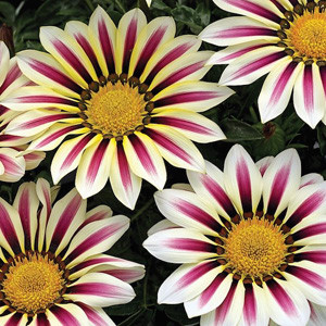 Big Kiss White Flame Gazania