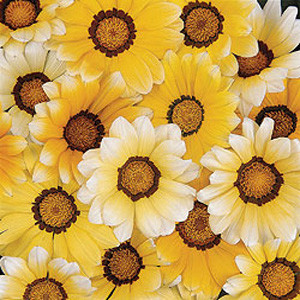 Daybreak Orange Cream Gazania