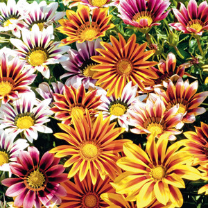 New Day Tiger Mix Gazania