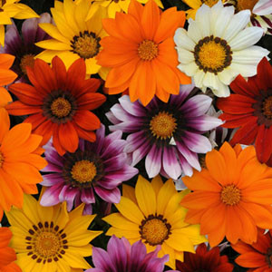New Day Mixture Gazania