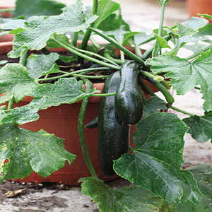 Container Patio Green Bush Zucchini Seeds 2b Seeds