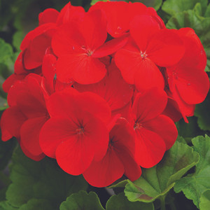 Pinto Premium Deep Red Geranium