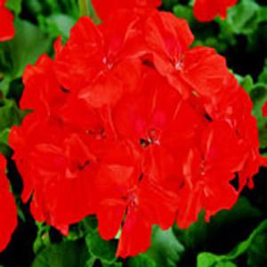 Rockstar Scarlet Geranium