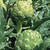 Artichoke Organic Imperial Star