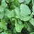 Organic Arugula Greens