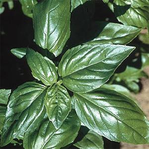 Organic Basil Aroma Genovesse